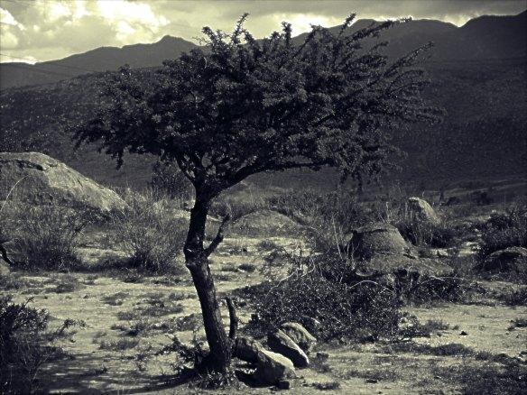 Scrub Tree (rev)